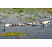Swan Family Outing Photographic Print