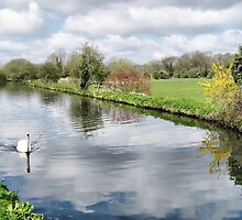 Swan on the Grand Union Canal by Roantrum