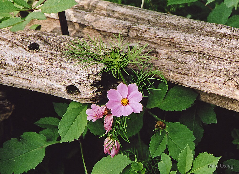 Cosmos and Cedar Fence by Mike Oxley