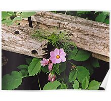 Cosmos and Cedar Fence Poster