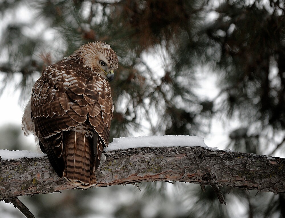 Prairie Falcon 1 by doctorphoto