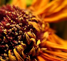 Dried Sunflower by TheRoacH