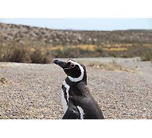 Magellanic Penguin At Punta Tombo Photographic Print