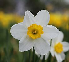 A Daffodil Amongst Daffodils by Harald Ole Hansen