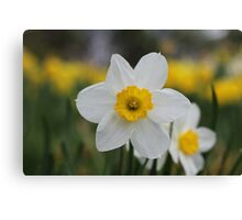 A Daffodil Amongst Daffodils Canvas Print