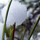 A Pine Snowball by barnsis