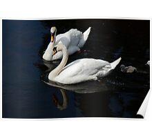 Swans  at Ruswarp Poster