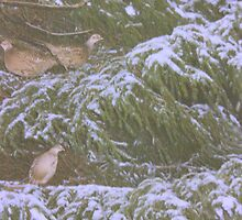 """and a pheasant in a fir tree"" by badgerrun"