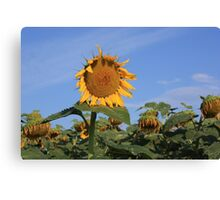 Colorful Kansas Sunflower in a field Canvas Print