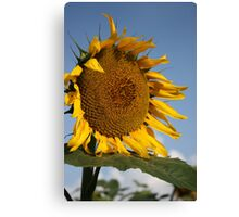 Bright and Colorful Kansas Sunflower Canvas Print