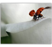 Ladybird on rose. by Ellen van Deelen