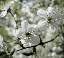 Apple tree blossoms. by lantica