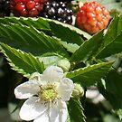Yummy!  Black Rhapsody Blackberries La Mirada, CA USA by leih2008