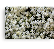Black Elderberry flowers (Sambucus nigra) Canvas Print