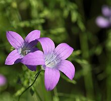 Spreading Bellflower (Campanula patula) by Zosimus