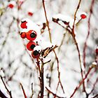 Berries beneath Snow in Denmark by DanielleQ