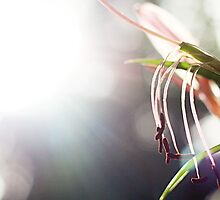 Oriental lily in sunlight by DanielleQ
