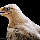 TRUE EAGLES - THE TAWNY EAGLE  *Aquila rapax* by Magaret Meintjes