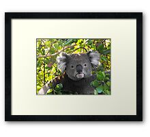 Koala on Otway (Can't you see I am busy?) Framed Print