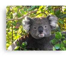 Koala on Otway (Can't you see I am busy?) Canvas Print