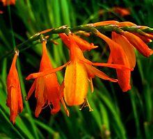 Orange Flowers by newbeltane