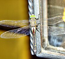 "dragonfly by Antonello Incagnone ""incant"""