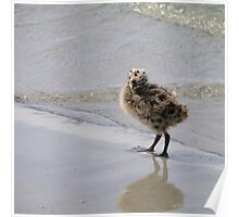 Baby seagull Poster