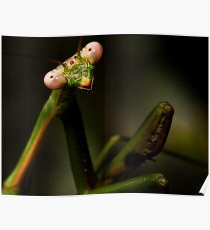 Posing Praying Mantis Poster