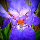 Purple face - Iris in neighbour's garden, Spring 2009 by EdsMum