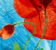 Pressed Field Poppy Flower Art Photo by Paul Williams by Paul Williams