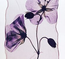 Pressed Wild Cranesbill Flower by Paul Williams by Paul Williams