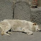 resident of Pompeii AD2009 by BronReid