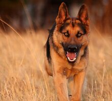 Kaptein... Captain... German Shepherd dog...  by Qnita