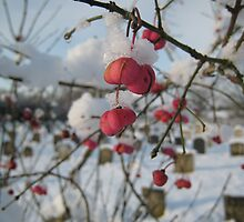 Red berries in the snow, East Sussex by Catherine Young