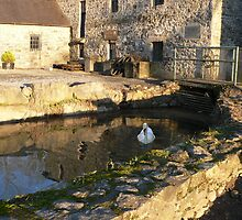 The Lone Swan,The Mill,Kings River,Kells,Co.Kilkenny. by Pat Duggan