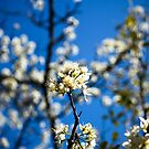 Spring Blossoms by SESE