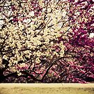 Spring Blossoms Flowering Trees by SESE
