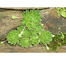 """Succulents """"hens & chicks"""" Photographic Print"""