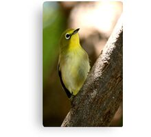 South African Bird (Cape White-eye, Zosterops pallidus) Canvas Print