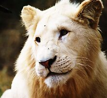Young White Lion by Ashley-Nicole
