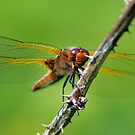 Scarce Chaser by FraserJ