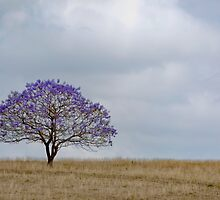 Just a Jacaranda - Near Boonah Qld Australia by Beth  Wode