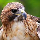 Red-tailed Hawk by Ruth Lambert