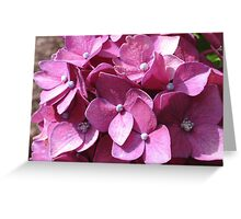 Dark Pink Hydrangeas Greeting Card