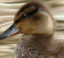 Mallard Duckling Sticker