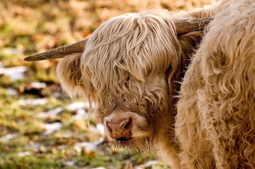 Highland Cow by James Dolan