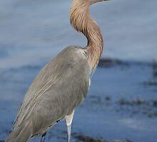 Reddish Egret by Dennis Cheeseman