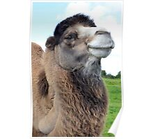 Comical Portrait of Bactrian Camel in a Field Poster