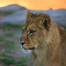 African Lion Cub by Franco De Luca Calce