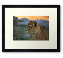 African Lion Cub Framed Print